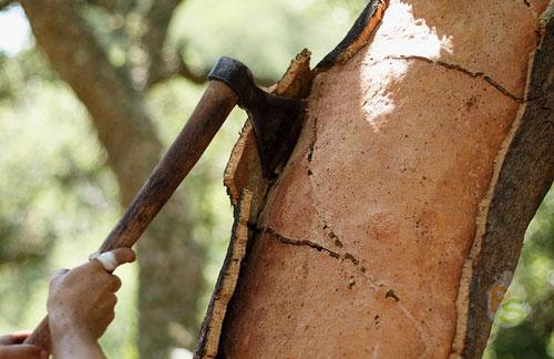 Как заготовить кору дуба