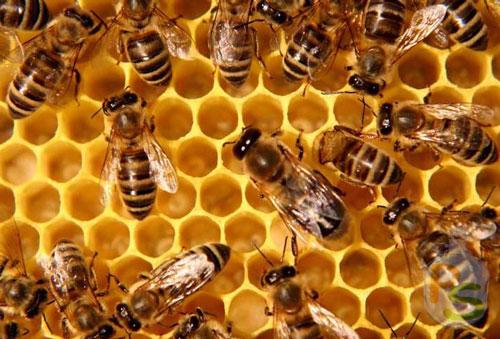 Мертвые пчелы для лечебной настойки