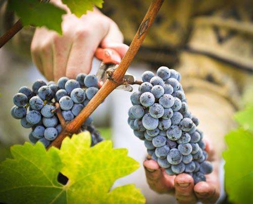 Как собирают виноград.