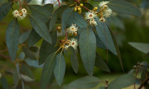Листья эвкалипта.