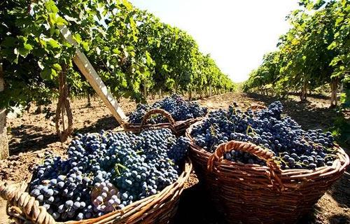 Урожай из винограда.