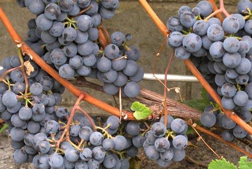 Спелый виноград на ветке.